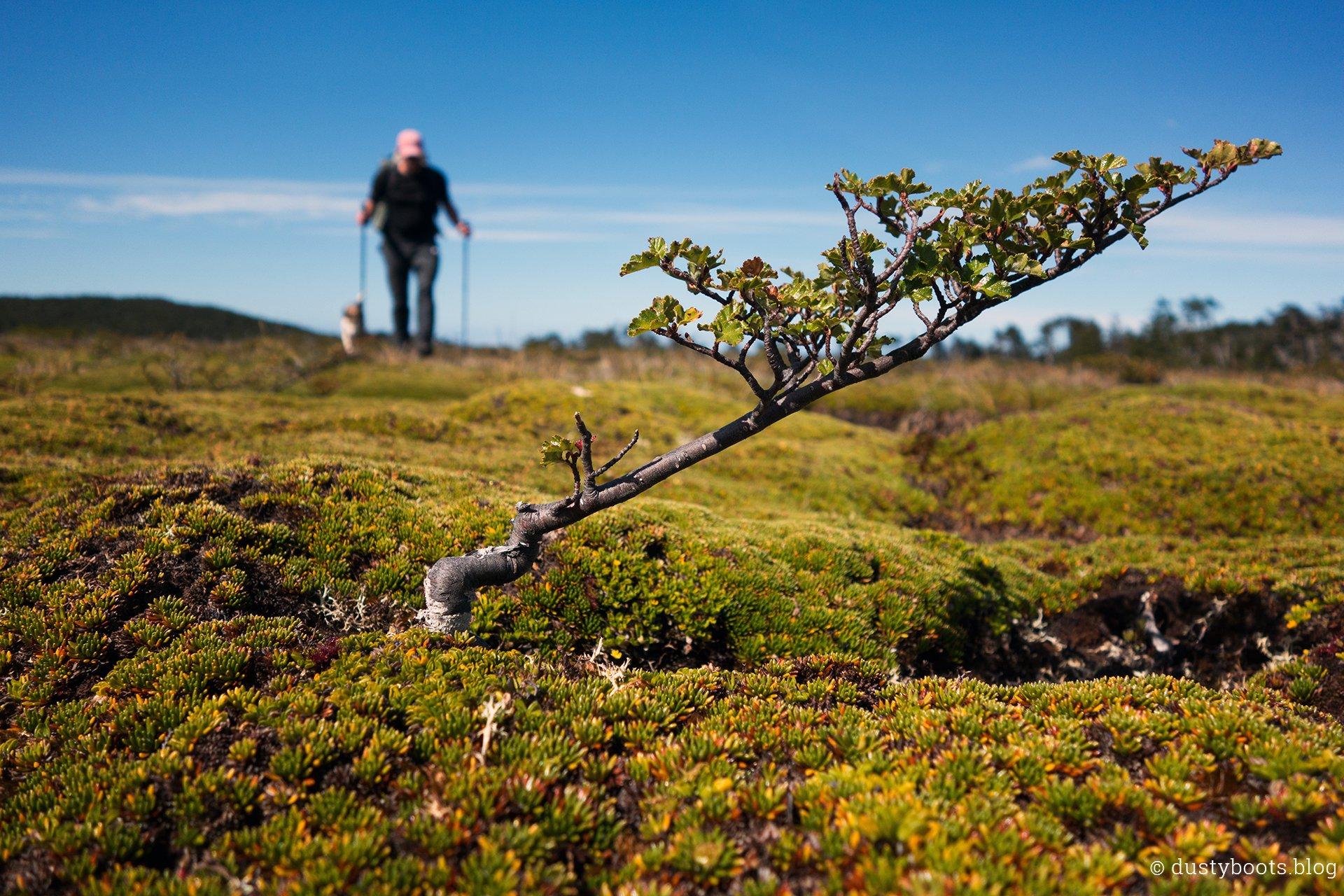 Bäume im Bonsai-Format sind die ersten größeren Pflanzen im Moor