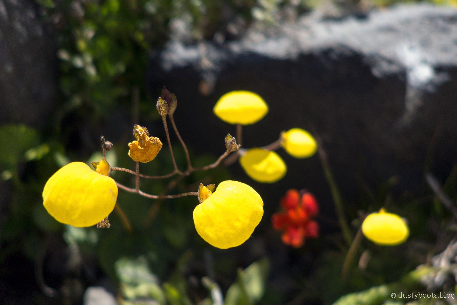 Blume im Valle de Aguas Calientes